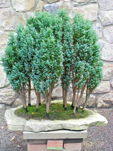 Lawson Cypress Chamaecyparis lawsoniana 300 seeds
