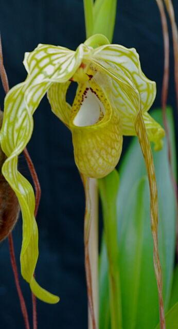 Phragmipedium Species Alba NEW Orchidee Orchideen