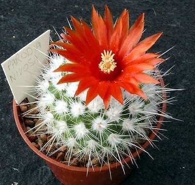 Rare Cactus Samen Korn Graine Semi 種子 씨앗 Семена 10 SEEDS Mammillaria Grusonii