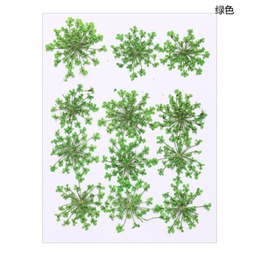 Pressed Flower For DIY Art Jewelry Making 12pcs Crafts Dried Ammi Flowers Resin