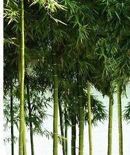 2 x Riesenbambus Moso Bambus winterhart Hecke & Sichtschutz schnellwüchsig groß