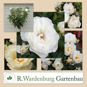 Strauchrose Weisse Wolke® weiß - 5L Topf