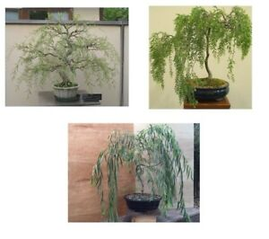 Bonsai-Willow-Tree-Bundle-3-Different-Large-Trunk-Willow-Tree-Cuttings
