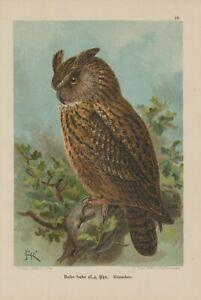 Uhu Bubo Bubo Hibou Lithographie 1899 Ornithologie-afficher Le Titre D'origine