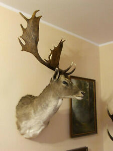 Superb-Fallow-Deer-Buck-Mount-Taxidermy-Antlers-Game-Head-Stag-Hunting-Trophy