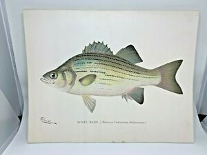 Original-Antique-Denton-Fish-Print-White-Bass