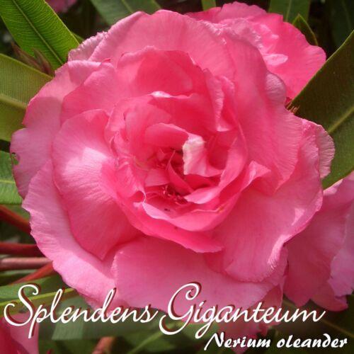 """3 Stück Nerium oleander Oleander /""""Splendens Giganteum/"""" Stecklinge min"""