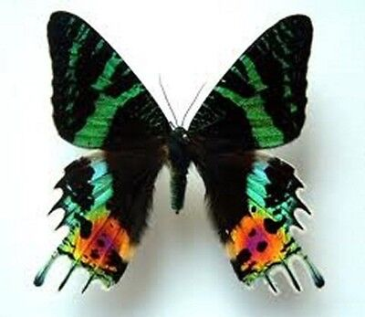 Urania leilus Folded Butterfly Taxidermy REAL Unmounted
