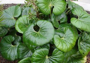 25-FRESH-Farfugium-Japonicum-var-Giganteum-Plant-Seeds-VERY-LARGE-LEAVES