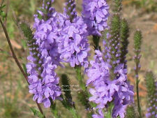 500 Purple HOARY VERVAIN VERBENA Stricta Flower Seeds