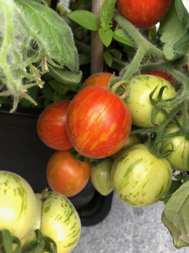 Fuzzy Wuzzy kleinbleibende gestreifte Tomate für Balkon /& Terrasse