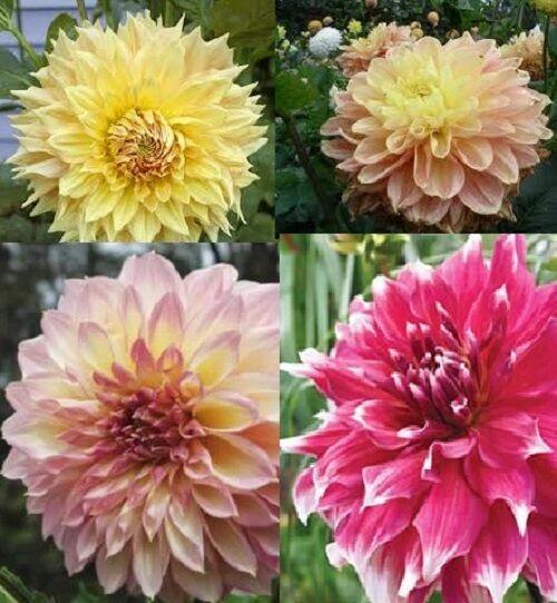 Dahlia Decorative Giants Mix x50 Bulk seeds, Hardy, Bonus See Inside F0147B