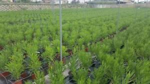 Nerium-Oleander-Oleandro-h-10-30-cm-vaso-8-4-piante
