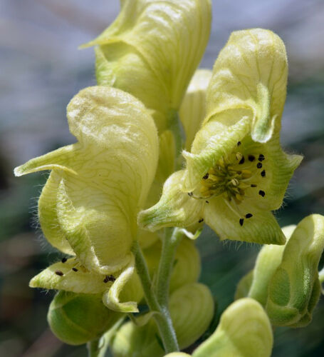 40 Yellow MonkshoodAconitum anthoraHard-2-Find SeedsHardy to Zone 2