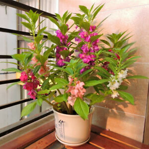 Details About 60 Garden Balsam Flower Seeds Mix Color Easy To Grow Annual  Garden Plant A025