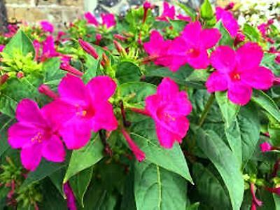 Fiori Fucsia.Mirabilis Jalapa Pianta Fiore Fucsia Viola Bellissima Siepe 15