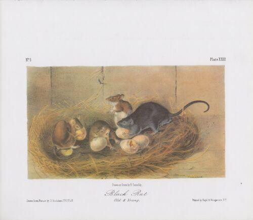 "1989 Vintage /""BLACK RAT GRAPHIC EATING BIRD EGGS AUDUBON MAMMAL COLOR Lithograph"