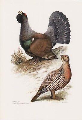 Auerhuhn (tetrao Urogallus) Waldhuhn Farbdruck 1958 Ornithologie Guter Geschmack