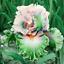 2 Iris Bulbs Gradient Features Perennial Reblooming Bearded Rhizome Flower Plant