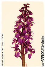 Orchis mascula 'Early Purple Orchid' [Ex. Co. Durham] 500+ SEEDS
