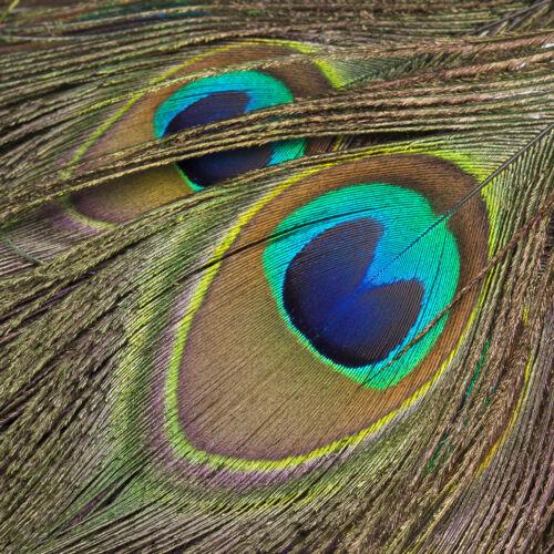 de 15 cm de largo Neotrims natural verdadero ojo del Pavo Real Pluma Adornos En Cinta De Raso