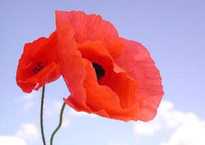 4000-Graines-de-Coquelicot-fleurs-sauvage-Methode-BIO-Pavot-Rouge-plantes-seeds