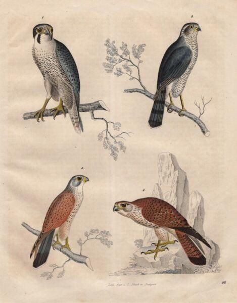 Der GüNstigste Preis Falken Falke Baumfalke Turmfalke Sperber Lithographie Von 1842 Falco