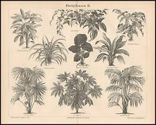 Stich Blattpflanzen II Pandanus Plectogyne Aralia Latania Rhapis 1874 Original