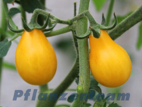 25 semi LAMPADINA GIALLA-cherrytomate-GIALLA birnchen