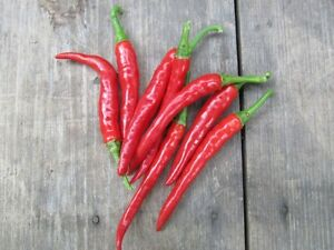 25-LONG-THIN-RED-CAYENNE-PEPPER-SEEDS-2020-NON-GMO-FREE-SHIPPING