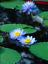 thumbnail 12 - Bonsai Lotus/water lily flower Bowl-Pond /5 Fresh seeds/Perfume Blue Lotus