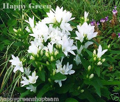 DWARF CLUSTERED BELLFLOWER - 2000 Seeds - Campanula glomerata - PERENNIAL FLOWER