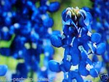 """FAVORITE.TEXAS BLUE BONNET """"DWARF"""" BLUE FLOWER 60 SEEDS  PERENNIAL RE-SEED SELF!"""