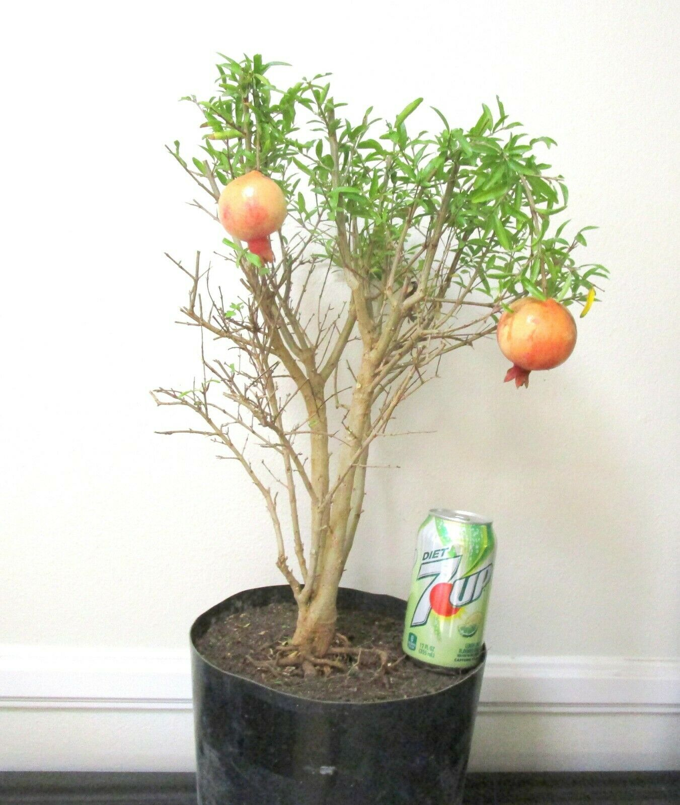 Chilean Guava Ugni Molinae Tree For Unique Shohin Mame Bonsai For Sale Online Ebay