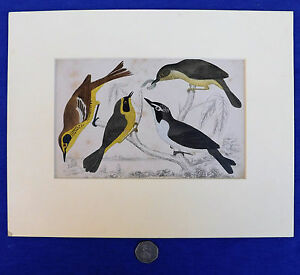 Vintage-engraving-of-4-birds-Natural-history-picture-ornithology