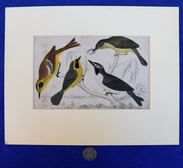 Vintage engraving of 4 birds Natural history picture ornithology