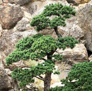 Garten-Bonsai-Chinesische-Kiefer-winterharte-Bonsai-Art-Japanischer-Garten