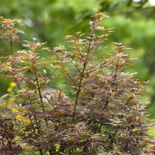 60-100cm Fächerahorn /' Jerre Schwartz /' Acer palmatum Topf gewachsen ca
