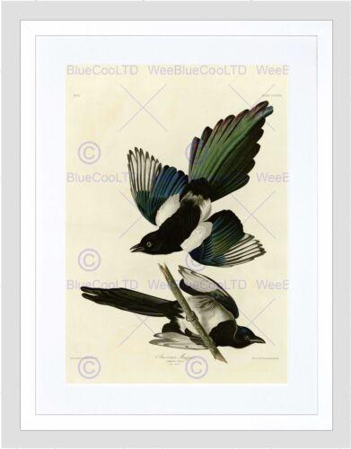 PAINTING BOOK PAGE BIRDS AMERICA AUDUBON AMERICAN MAGPIE FRAMED PRINT B12X3806