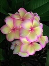 """""""VILAWAN II"""" FRAGRANT PLUMERIA 7-12 INCHES HAVE ROOTED WITH CER. EASY TO PLANT"""