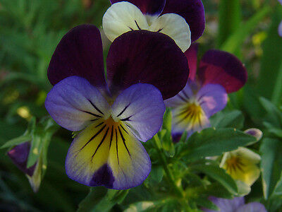 FLOWER VIOLA HELENS MOUNT JOHNNY JUMP UP 800 SEEDS