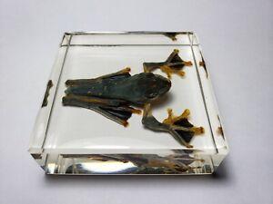 RHACOPHORUS-REINWARDTII-GREEN-FLYING-FROG-clear-resin-encapsulation