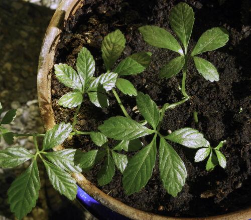 15 graines Herbe de l/'Immortalité Gynostemma Pentaphyllum H182 JIAO GU LAN SEEDS
