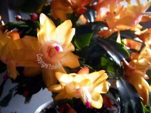 Bouture-racinee-rooted-cutting-Cactus-de-Noel-Schlumbergera-abricot-jaune