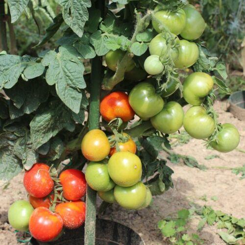 robuste Freilandsorte kleinbleibend 10 Samen First in Field Tomate