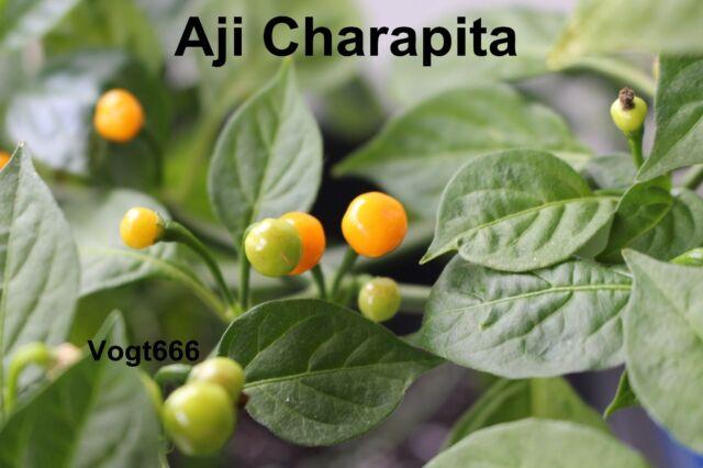Aji Charapita Samen wilder Chili aus Peru