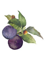 Plum Harvest Violet Purple Plums Fruit 25 Wallies Wallpaper Sticker Border Decal