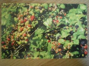 POSTCARD BLACKBERRIES - Tadley, United Kingdom - POSTCARD BLACKBERRIES - Tadley, United Kingdom