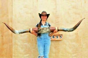 "STEER LONG HORNS MOUNTED 5' 11"" COW BULL SKULL TAXIDERMY LONGHORN LH2695"