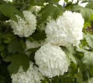 Eastern Snowball Bush Viburnum Opulus Sterile Live